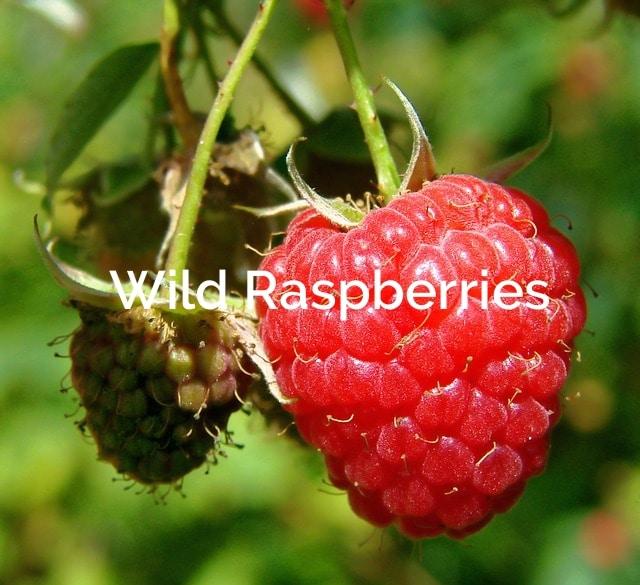 Wild Raspberry rubus idaeus Forest Product