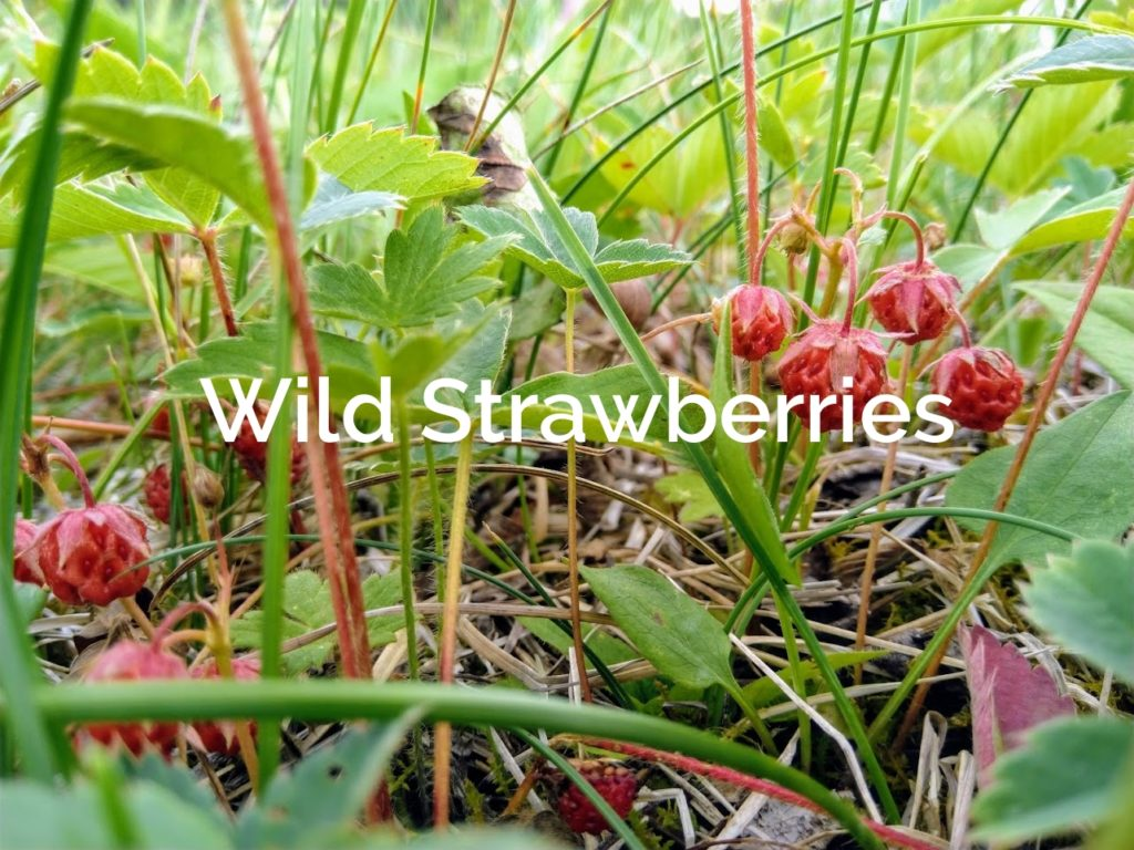 Wild Strawberries Fragaria virginiana Forest Product