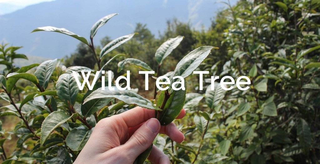 Wild Tea Tree  Non-Timber Forest Product