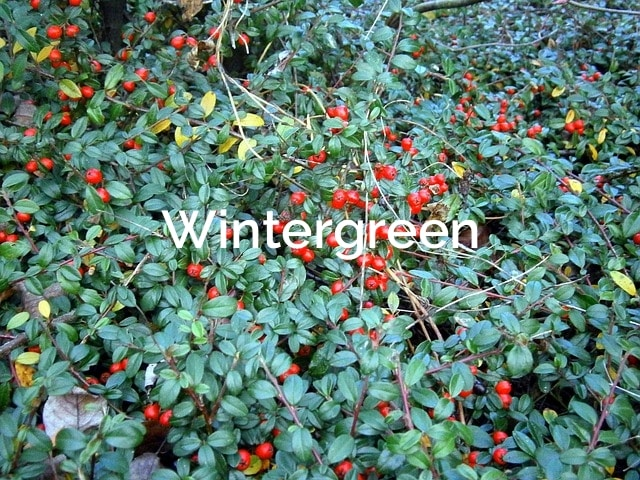Wintergreen-gaultheria-procumbens-Non-Timber-Forest-Products