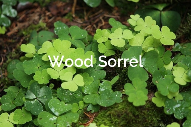 Wood Sorrel Oxalis stricta Non-Timber Forest Product