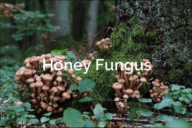 Inonotus-obliquus-Chaga-Parasitic-Mushroom-1