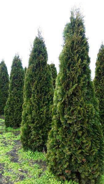 Arborvitae-Thuja-Occidentalis-Hardiness-Zone-2-Conifers