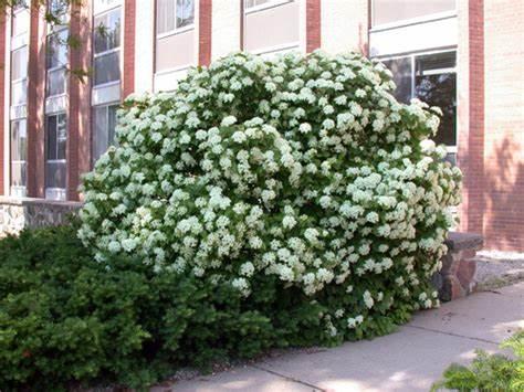 Arrowwood-viburnum-Viburnum-dentatum-Flowering-Shrub-Growing-in-Hardiness-Zone-2