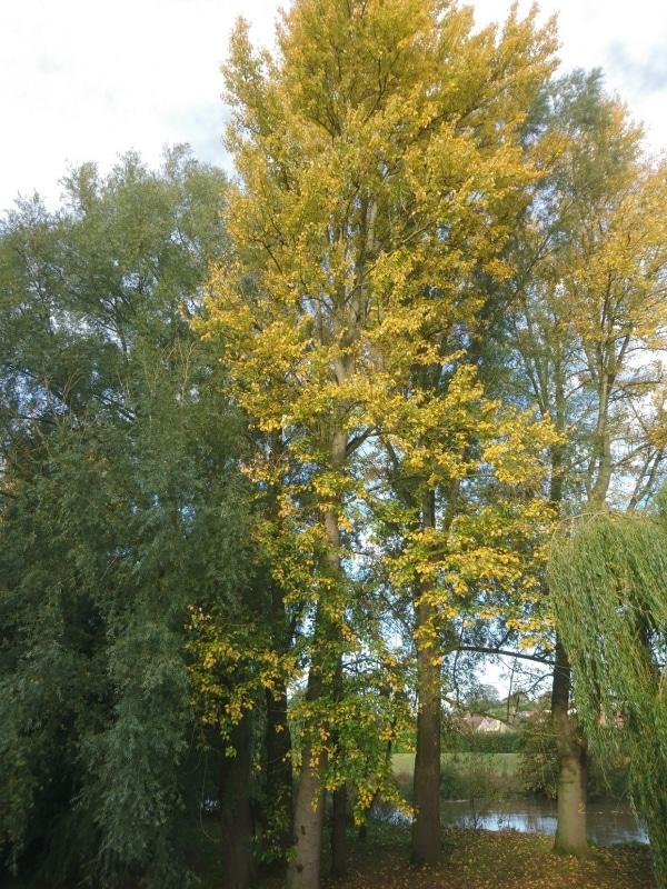 Balsam Poplar (Populus balsamifera) Hardiness Zone 2 Trees
