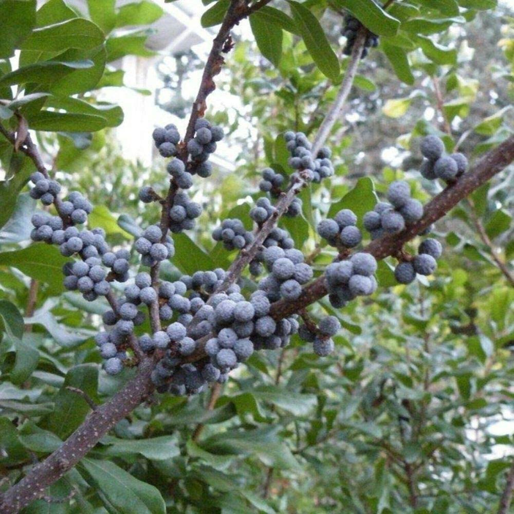 Bayberry-Myrica-Pensylvanica-Hardiness-Zone-2-Berry-Shrubs