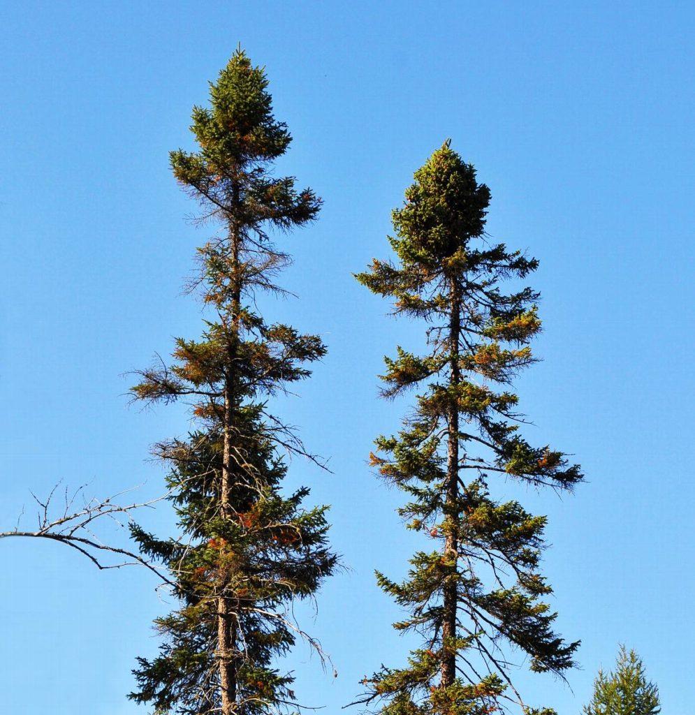 Black-Spruce-Picea-Mariana