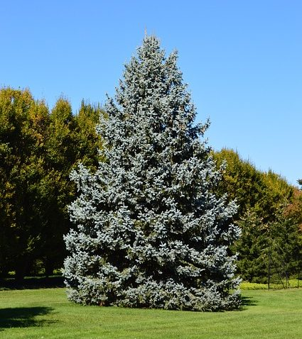 Blue-Spruce-Picea-pungens-Engelm