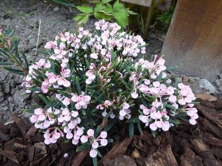 Bog-Rosemary-Andromeda-polifolia-Plants-that-grow-in-hardiness-Zone-2