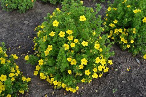 Bush-Cinqfoil-Potentilla-fructosa-Flowering-Herbs-You-Can-Grow-In-Hardiness-Zone-2