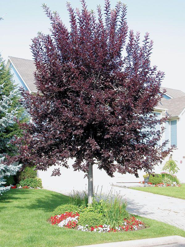 Chokecherry (Prunus virginiana) Hardiness Zone 2 Berry Producing Tree