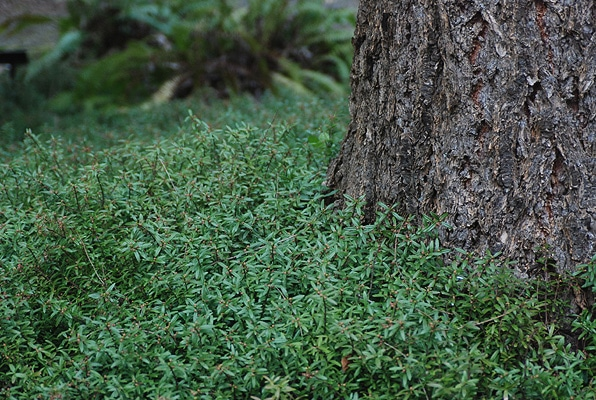 Cliff-Green-Pachistima-Pachistima-canbyi-Hardiness-Zone-2-Herbs