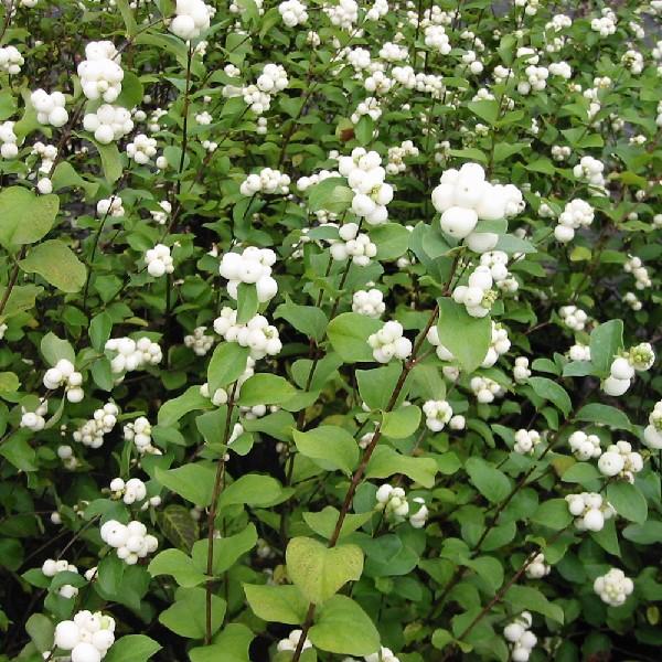 Common-Snowberry-Symphoricarpos-Albus-Hardiness-Zone-2-Berry-Producing-Bush-2