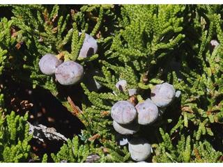 Creeping-Juniper-Juniperus-horizontalis-Moench-Hardiness-Zone-2-Conifer-Shrubs