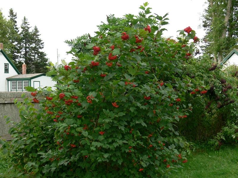 Highbush-Cranberry-Viburnum-trilobum-Americanum-Hardiness-Zone-2-Bushes
