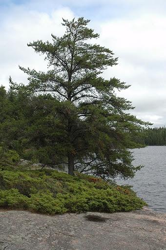Jack-Pine-Pinus-banksiana-Hardiness-Zone-2-Conifers