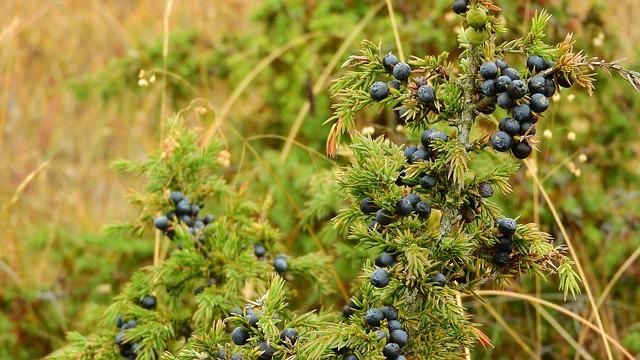 Juniper-Juniperus-Communis-Tree-Shrub-that-grow-in-Hardiness-Zone-2