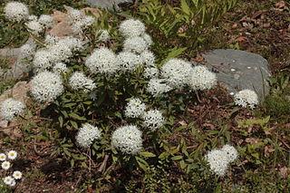 Labrador tea (Rhododendron tomentosum) Flowering Shrubs to Grow in Hardiness Zone 2