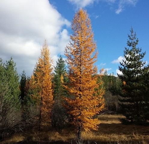 Larch (Larix) Hardiness Zone 2 Conifers 2
