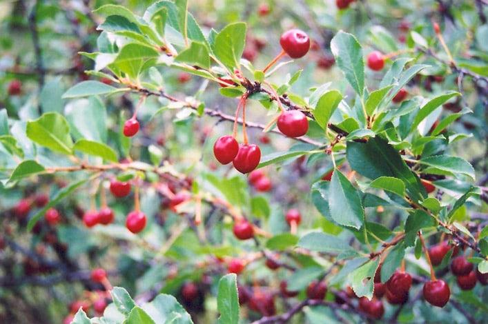 Mongolian Cherry (Prunus Fruticosa) Hardiness Zone 2 Fruiting Shrubs