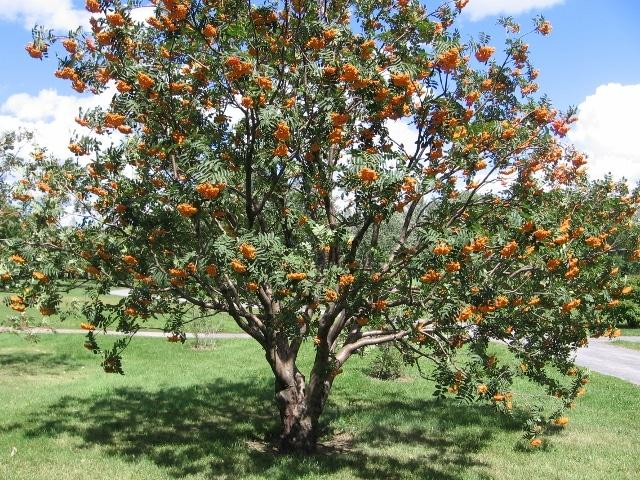 Mountain Ash (Sorbus Americana) Hardiness Zone 2 Trees 2