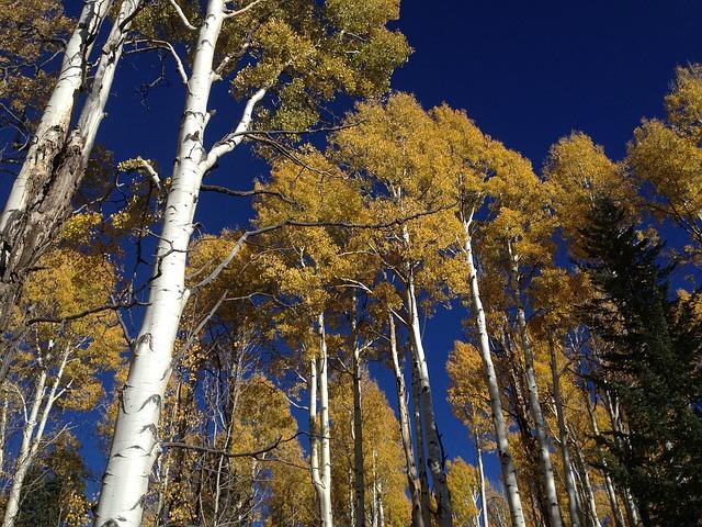 Quaking-Aspen-Populus-tremuloides-Hardiness-Zone-2