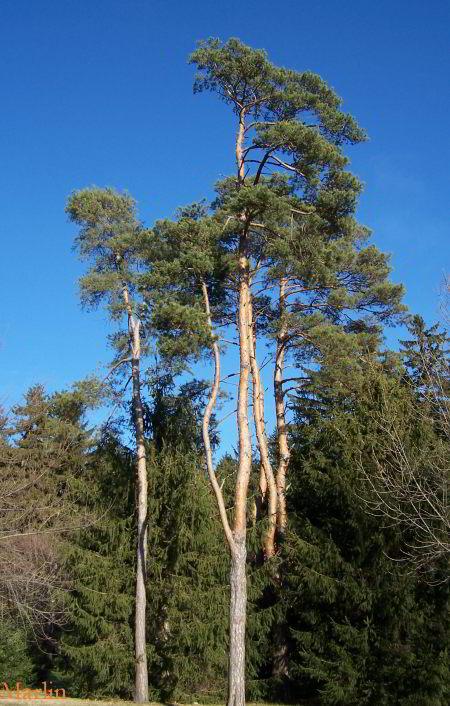 Scots Pine (Pinus sylverstris) Hardiness Zone 2 Conifer Trees