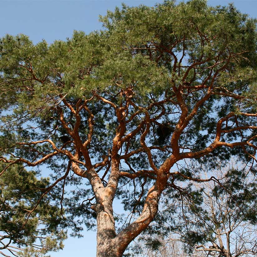 Scots-Pine-Pinus-sylverstris-Hardiness-Zone-2-Conifer-Trees