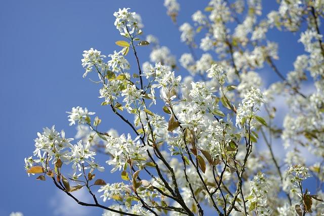 Serviceberry-amelanchier-alnifolia-hardiness-zone-2-small-tree-shrub
