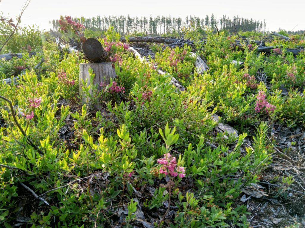 Sheep-Laurel-Kalmia-Angustifolia-Flowering-Shrubs-to-Grow-in-Hardiness-Zone-2