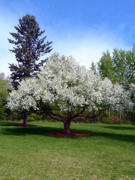 Siberian-crabapple-Malus-baccata-Hardiness-Zone-2-Fruiting-Trees
