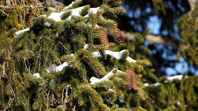 White Spruce (Picea Glauca) Hardiness Zone 2 Coniferous Trees