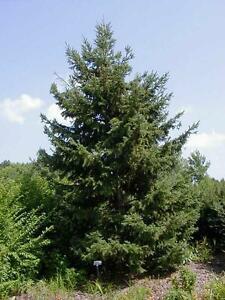 White-Spruce-Picea-glauca-Hardiness-Zone-2-Conifers