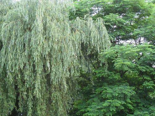 White-Willow-Salix-alba-Hardiness-Zone-2-Deciduous-Trees