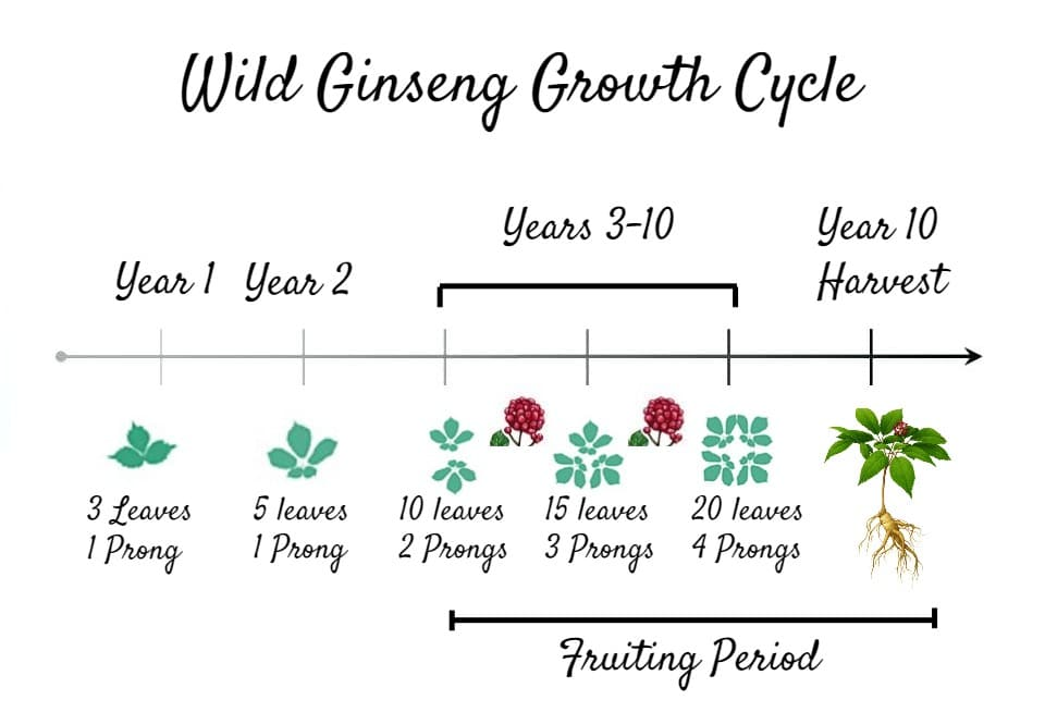 Forest Farming American Ginseng Growth Cycle