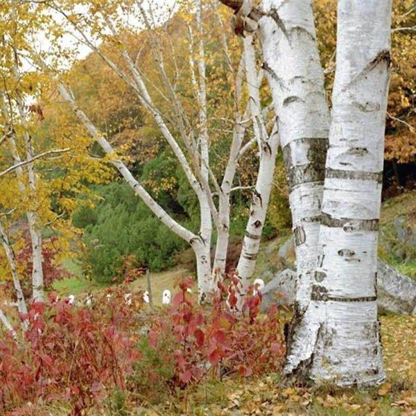 betula-papyrifera-paper-birch-hardiness-zone-2-trees
