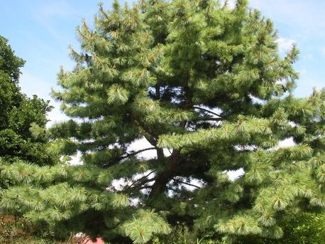 eastern-white-pine--pinus-stro (2)