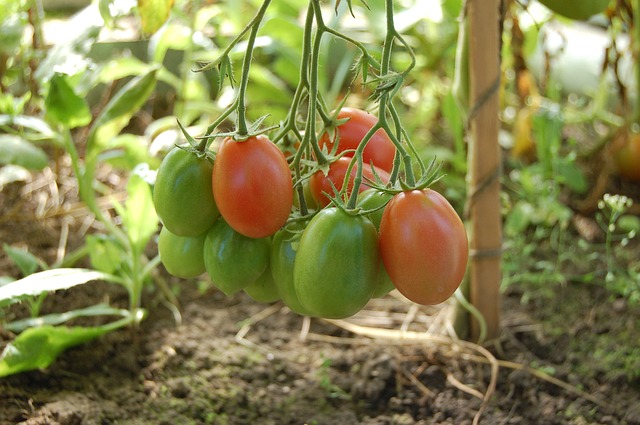 Off-Grid-Essentials-Food-Garden-Tomatoes