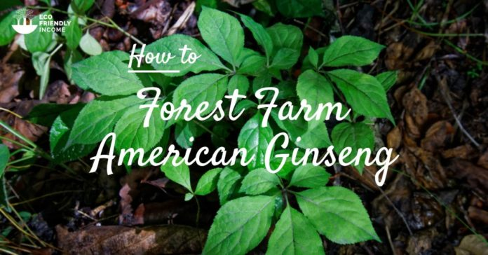 Forest Farm American Ginseng