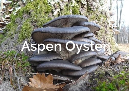 Aspen Oyster Pleurotus populinus