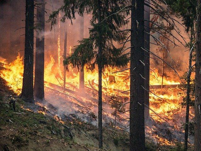 Forest-Fire-Mushroom-Harvesting