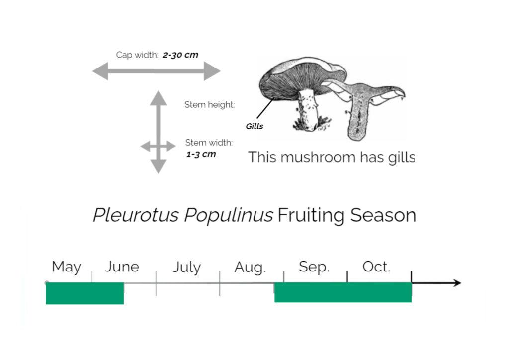 Pleurotus-Populinus-Information-Chart
