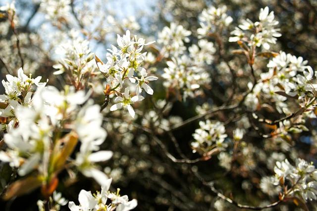 serviceberry amelanchier boreal forest medicinal plants