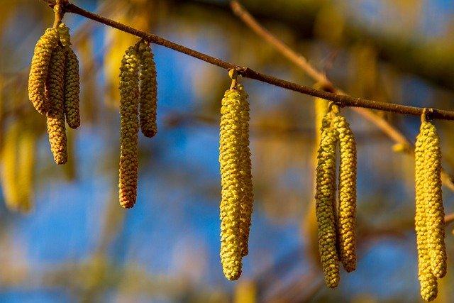 beaked hazelnut corylus cornuta boreal forest medicinal plant