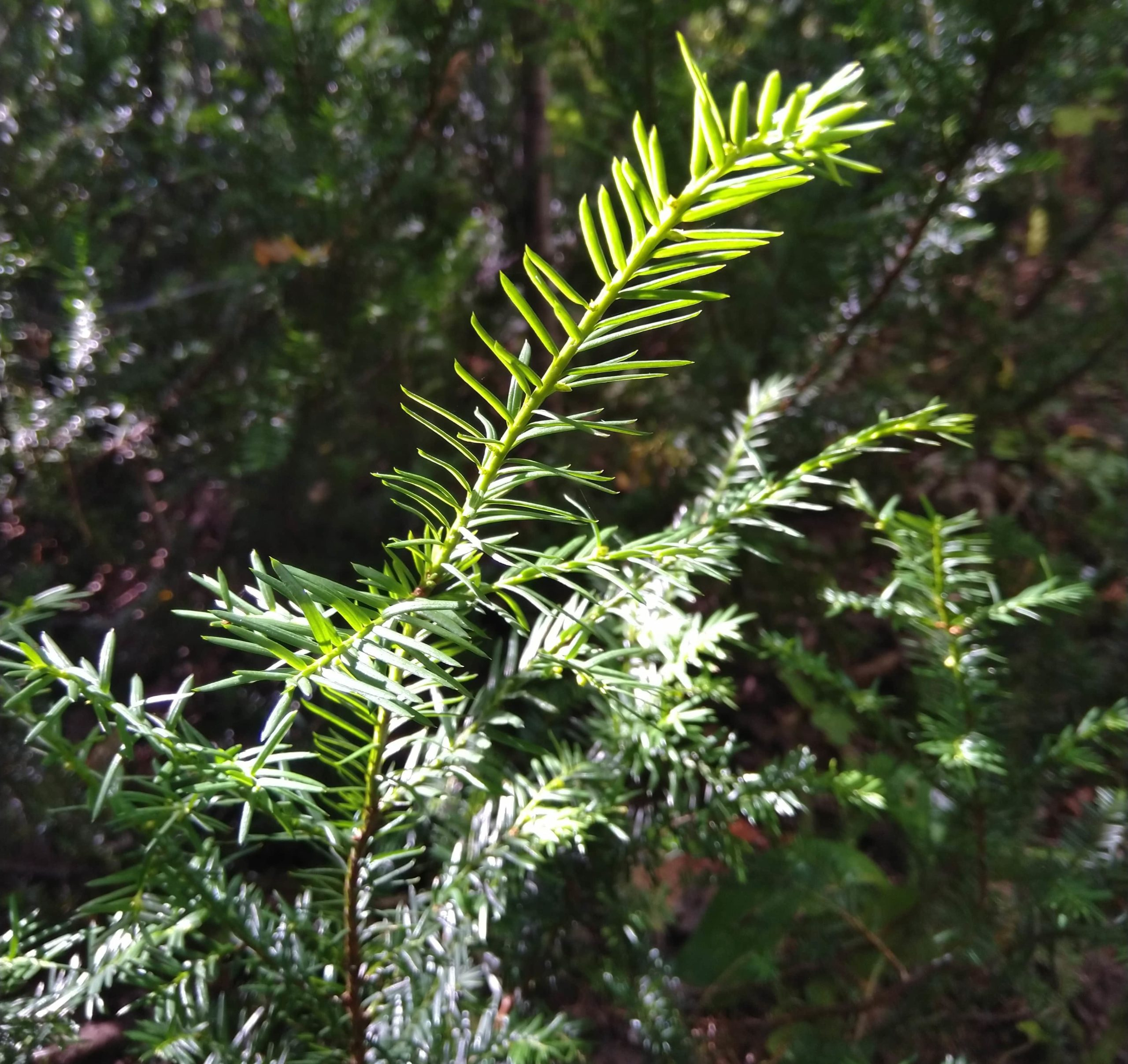 Canadian-Yew-Taxus-Canadensis-sqr-min-1