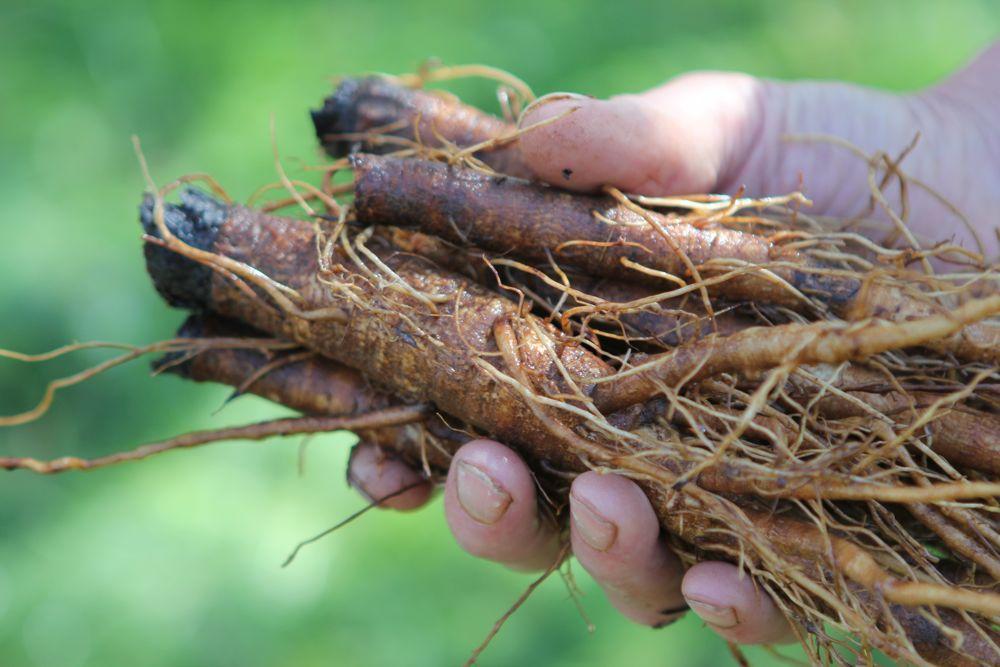 common burdock arctium minus boreal forest medicinal plant