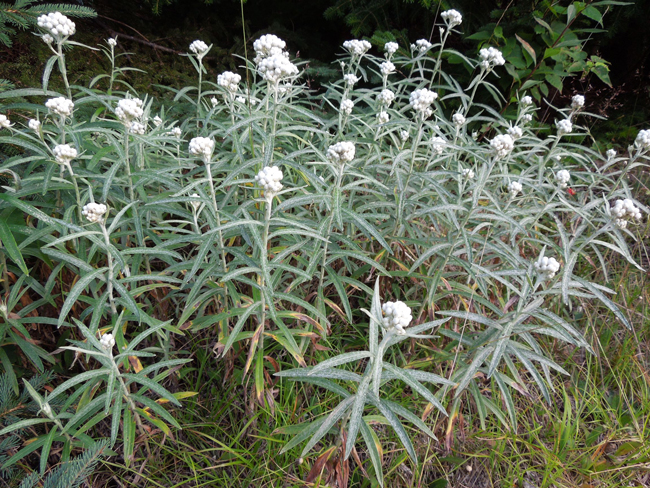 pearly everlasting anaphalis margaritacea boreal forest medicinal plant