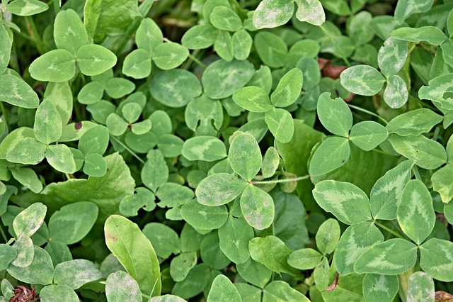 red clover trifolium pratense boreal forest medicinal plants