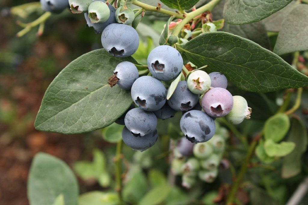 blueberry vaccinium L. boreal forest medicinal plant