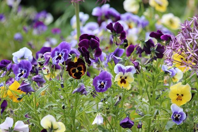 Violet viola L. boreal forest medicinal plant